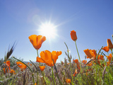 Poppies with Sun and Blue Sky, Antelope Valley Near Lancaster, California, Usa Lmina fotogrfica por Jamie & Judy Wild