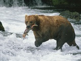 A Grizzly Bear (Ursus Arctos Horribilis) Catches a Red Salmon Photographic Print by John Eastcott & Yva Momatiuk