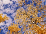 Aspen Trees with Autumn Foliage Photographic Print by John Eastcott &amp; Yva Momatiuk