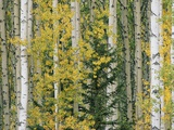 A Grove of Aspen and White Birch Trees Photographic Print by John Eastcott & Yva Momatiuk