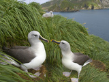 Mated Pair of Gray-Headed Albatrosses and a Chick on a Cliff Side Photographic Print by John Eastcott & Yva Momatiuk