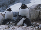 Gentoo Penguins with their Chicks at the Summer Rookery Photographic Print by John Eastcott & Yva Momatiuk