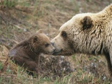 A Brown Grizzly Bear (Ursus Arctos Horribilis) Cub Is Inspected by its Mother Photographic Print by John Eastcott & Yva Momatiuk
