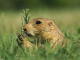 A Prairie Dog Eats Grass in Devils Tower National Monument Photographic Print by John Eastcott & Yva Momatiuk