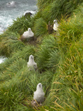 Gray-Headed Albatross Chicks in their Nests Among Tussock Grass Photographic Print by John Eastcott & Yva Momatiuk