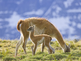 Guanaco, Lama Guanicoe, Calf and Grazing Mother on a Grassy Slope Photographic Print by John Eastcott & Yva Momatiuk
