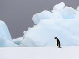 Adelie Penguin, Pygoscelis Adeliae, Standing Alone on an Iceberg Photographic Print by John Eastcott & Yva Momatiuk