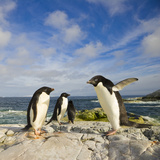 Adelie Penguins Standing and Walking on Coastal Rocks Photographic Print by John Eastcott & Yva Momatiuk