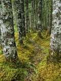A Moss-Covered Trail Along the Copper River Photographic Print by John Eastcott & Yva Momatiuk