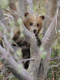 A Grizzly Bear (Ursus Arctos Horribilis) Cub Climbs a Willow Tree Photographic Print by John Eastcott & Yva Momatiuk