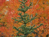 A White Spruce Tree Against Red Aspen Leaves Photographic Print by John Eastcott &amp; Yva Momatiuk