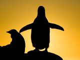 Silhouetted Gentoo Penguin and Chick Backlit at Sunset Photographic Print by John Eastcott & Yva Momatiuk
