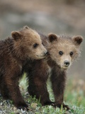 Brown Grizzly Bear (Ursus Arctos Horribilis) Cubs Play Together Photographic Print by John Eastcott & Yva Momatiuk