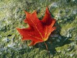 A Sugar Maple Leaf Displays Autumn Colors Photographie par John Eastcott & Yva Momatiuk
