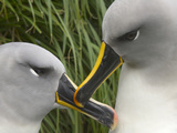 Mated Pair of Gray-Headed Albatrosses Interacting in Tussock Grass Photographic Print by John Eastcott & Yva Momatiuk