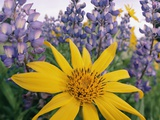 Wild Sunflowers in a Wild Lupine Field in Spring Papier Photo par John Eastcott & Yva Momatiuk