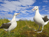 Wandering Albatrosses Courting and Displaying at Mating Season Photographic Print by John Eastcott & Yva Momatiuk