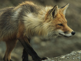 A Red Fox Prepares to Pounce on its Prey Photographic Print by John Eastcott & Yva Momatiuk