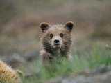 A Grizzly Bear (Ursus Arctos Horribilis) Cub Stares at the Camera Photographic Print by John Eastcott & Yva Momatiuk