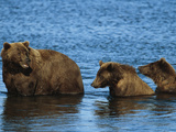 A Brown Grizzly Bear Sow with Cubs Fish for Salmon in a River Photographic Print by John Eastcott & Yva Momatiuk