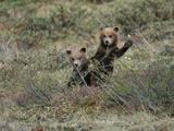 Grizzly Bear Cubs (Ursus Arctos Horribilis) Peep over Some Bushes Photographic Print by John Eastcott & Yva Momatiuk