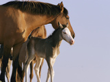 A Wild Mustang (Equus Caballus) Mare and Her Foal Photographic Print by John Eastcott & Yva Momatiuk
