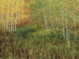 A Multiple Exposure View of a Paper Birch Grove Photographic Print by John Eastcott & Yva Momatiuk