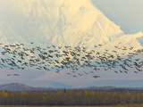 Migrating Sandhill Cranes, Grus Canadensis, and Snowy Alaska Range Photographic Print by John Eastcott & Yva Momatiuk