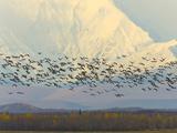 Migrating Sandhill Cranes, Grus Canadensis, and Snowy Alaska Range Photographic Print by John Eastcott & Yva Momatiuk