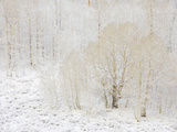 Aspen Trees with Snowy Branches after First Snow in the Sierra Nevada Fotografisk tryk af John Eastcott & Yva Momatiuk