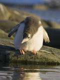 Gentoo Penguin Chick with Fluffy Down Looking at the Sea Water Photographic Print by John Eastcott & Yva Momatiuk