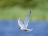An Arctic Tern (Sterna Paradisaea) in Flight Photographic Print by John Eastcott & Yva Momatiuk