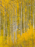 A Spectacular Grove of Yellow Aspen Trees Near the Alaska Highway Photographic Print by John Eastcott & Yva Momatiuk