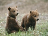 Two Grizzly Bear (Ursus Arctos Horribilis) Cubs Hang Out Together Photographic Print by John Eastcott & Yva Momatiuk