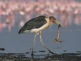 Marabou Stork Carrying a Flamingo Neck as Other Flamingos Feed Nearby Reproduction photographique par John Eastcott & Yva Momatiuk