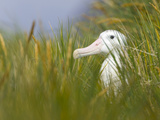 Wandering Albatross Sitting in Thick Grasses Photographic Print by John Eastcott & Yva Momatiuk