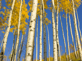Yellow Quaking Aspens Trees Seen from Below Against Blue Sky Photographic Print by John Eastcott & Yva Momatiuk