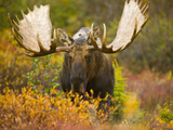 Moose Bull Emerging from Bushes in Fall Tundra During Rut. Photographic Print by John Eastcott & Yva Momatiuk