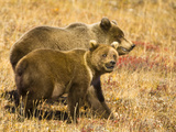 Brown Grizzly Bear Cubs Walking Together in Colorful Fall Tundra. Photographic Print by John Eastcott & Yva Momatiuk