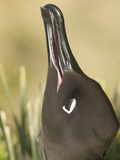 Close Up of a Light-Mantled Sooty Albatross, Phoebetria Palpebrata Photographic Print by John Eastcott & Yva Momatiuk