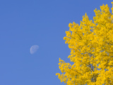 Yellow Aspen Trees and Moon in Blue Sky Near the Alaska Highway Photographic Print by John Eastcott & Yva Momatiuk