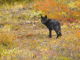 Alert Black Gray Wolf Pup Standing in Colorful Fall Tundra Bushes. Photographic Print by John Eastcott & Yva Momatiuk