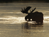 A Bull Moose Feeds on Underwater Vegetation in a Glacial Kettle Lake Photographic Print by John Eastcott & Yva Momatiuk