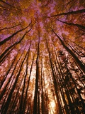 A Filtered View of a Grove of Aspen Trees Photographic Print by John Eastcott & Yva Momatiuk