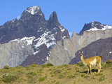 Guanaco, Lama Guanicoe, Female Against Cuernos Del Paine Peaks Photographic Print by John Eastcott & Yva Momatiuk