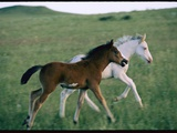 Spanish Mustang Foals Running in a Meadow Photographic Print by John Eastcott & Yva Momatiuk
