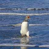 Gentoo Penguin Vocalizing, Flapping Wings, Walking in Surf Photographic Print by John Eastcott & Yva Momatiuk