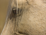 Close Up of an Adult Wild Mustang Palomino Stallion Photographic Print by John Eastcott & Yva Momatiuk