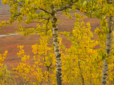Poplar Trees in Bright Colorful Fall Tundra Photographic Print by John Eastcott & Yva Momatiuk