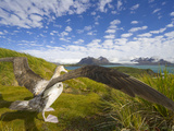 Wandering Albatross with Spread Wings Preparing to Take Flight Photographic Print by John Eastcott & Yva Momatiuk